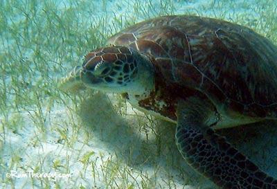 Tobago-Cays-Turtle6-(400)-O