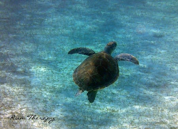 Turtle---(600)