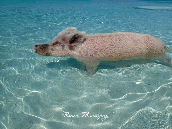 Pigs-10(600)-O