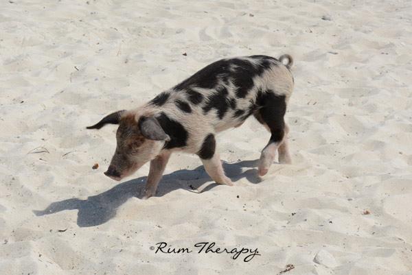 Pigs-3(600)-O