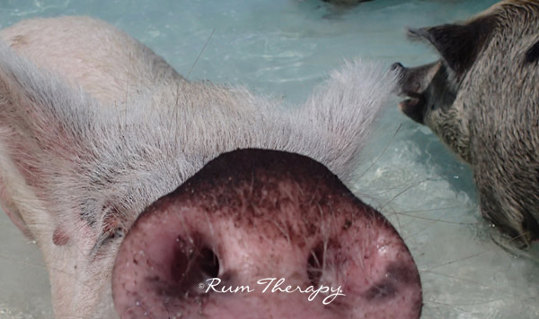 Pigs-5(600)-O