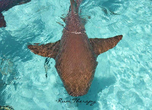 Compass Cay Shark - copyright Rum Therapy