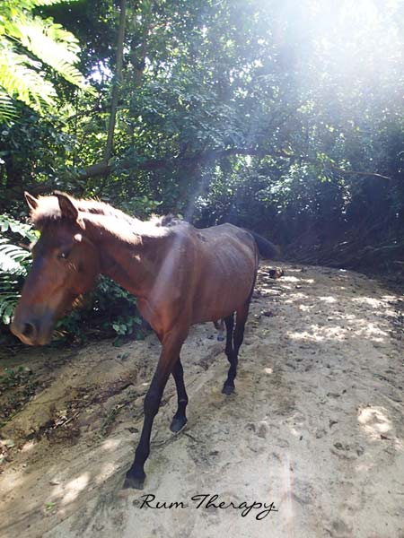 Horsesin Vieques - copyright Rum Therapy