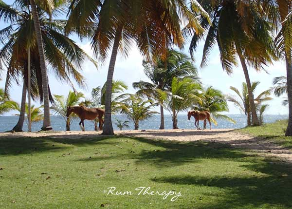 Horses in Vieques - copyright Rum Therapy
