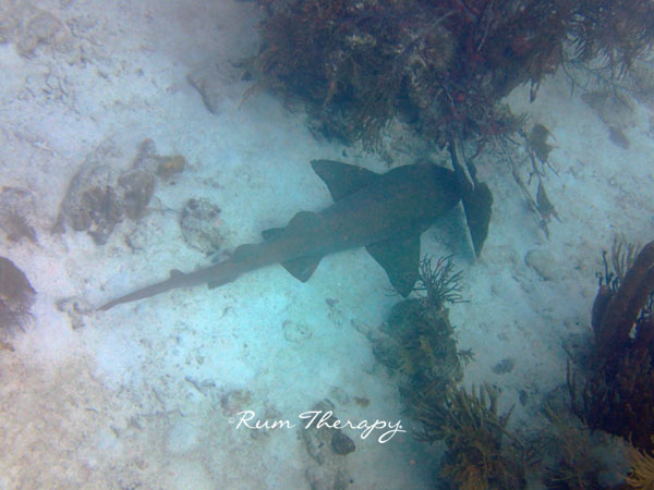 Nurse Shark - copyright Rum Therapy