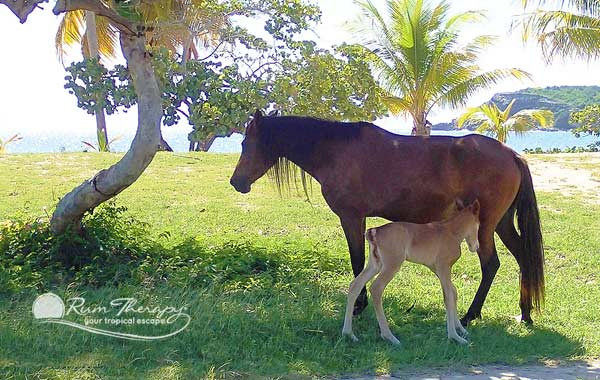 Horses on Vieques - copyright Rum Therapy